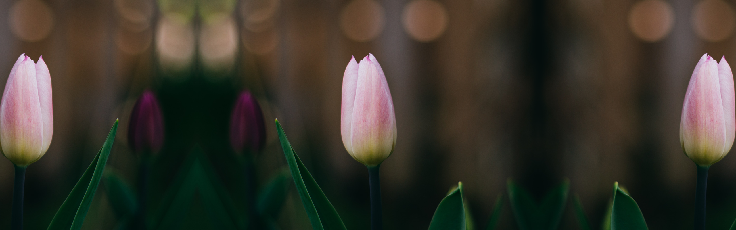 Calvinism in One Point: The Often-Forgotten Story of TULIP