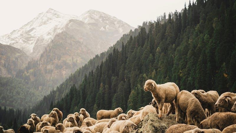 Feed His Sheep
