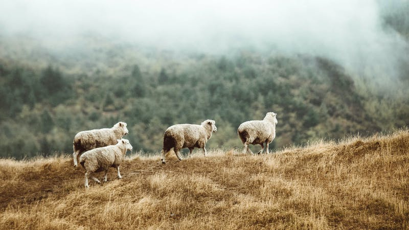 Feed the Sheep by Any Hand