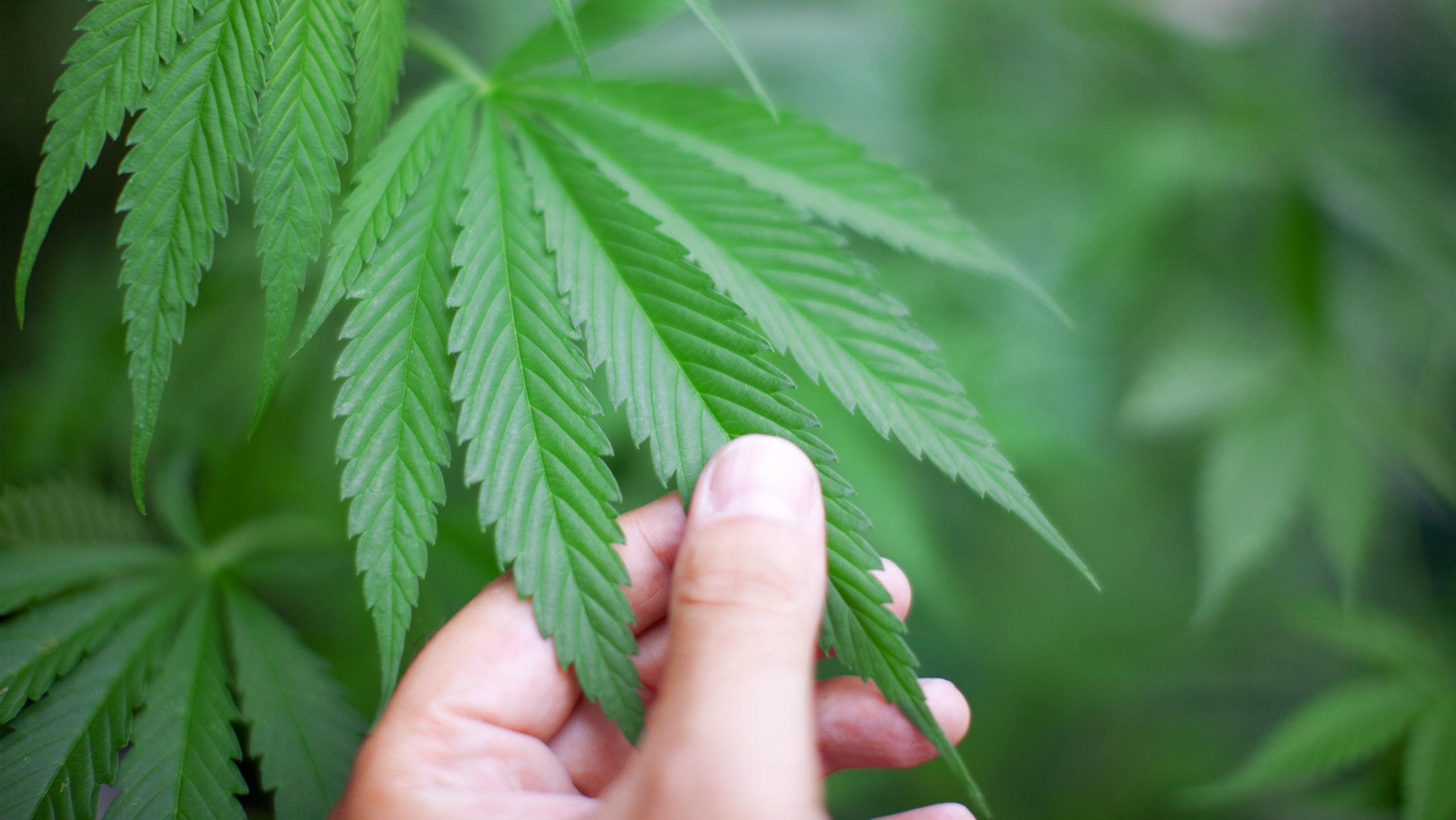 Marijuana to the Glory of God?