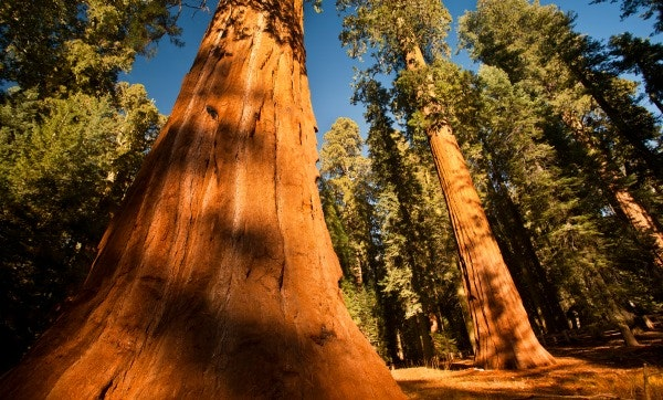 The Redwoods and the Rare Jewel of Christian Contentment