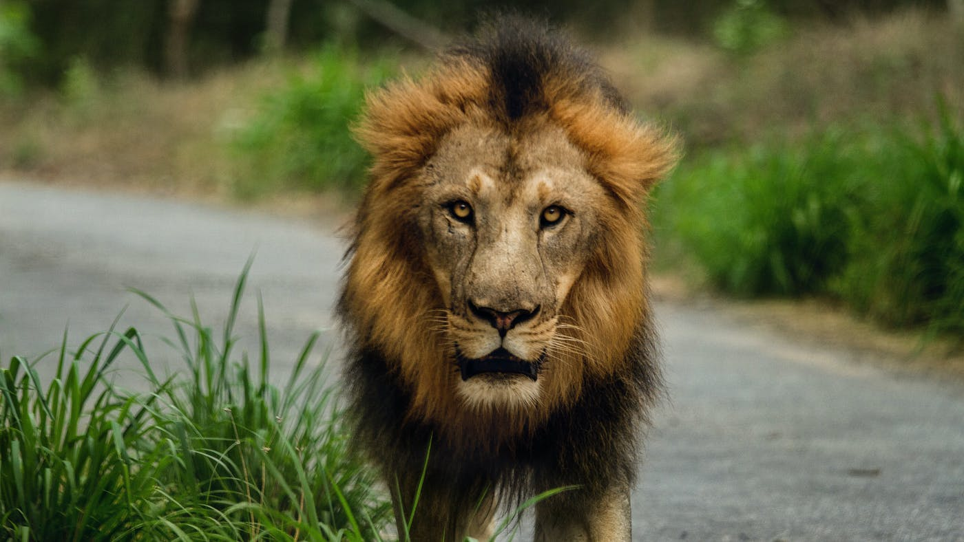 The Righteous Are Bold As A Lion Desiring God