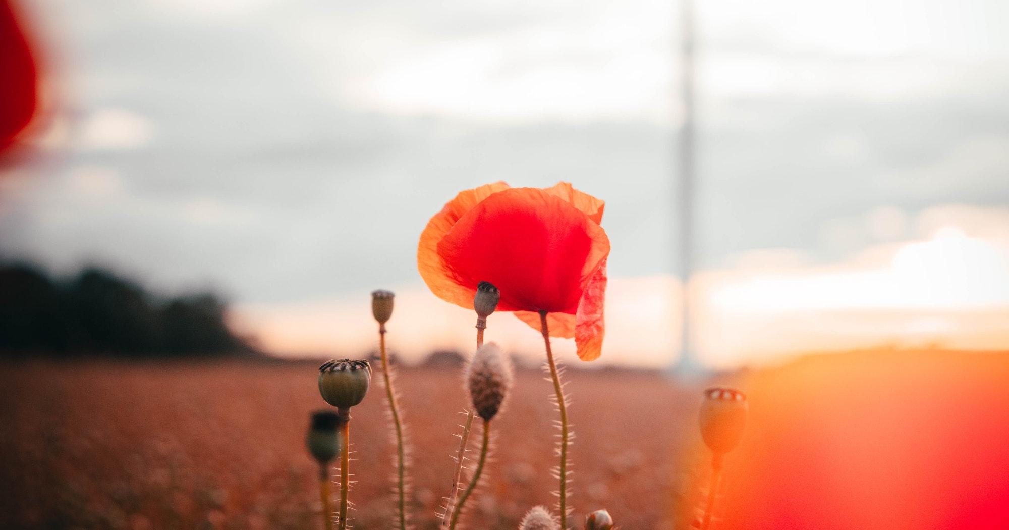 Image result for desiring god poppies